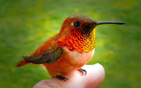 Hummingbird Google